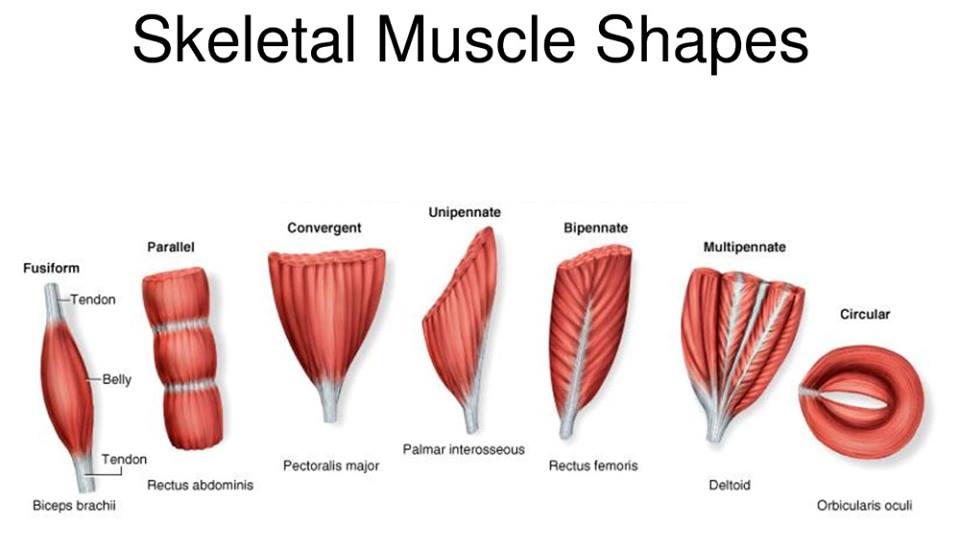muscular and skeletal system by carmela compuesto on prezi, Muscles